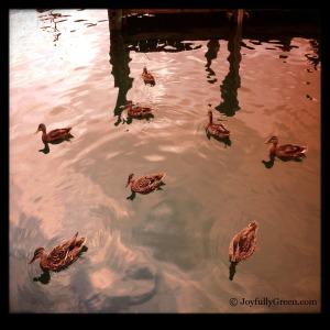 Ducks3a